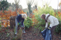 Clearing the leaves from the gardens of Sobell House Hospice